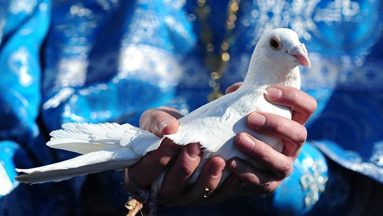 белый голубь в руках